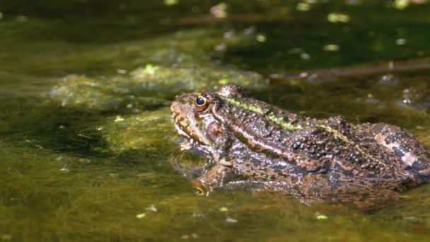 Grüner Frosch im Fluss. Nahaufnahme. Porträt Gesicht der Kröte im Wasser mit Wasserpflanzen