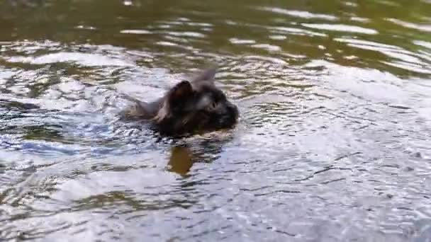 Cat Swimming in River. Black Kitten Swims in Water. Cats Emotions. Slow motion