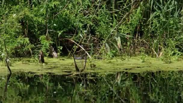 Kachny Rodina Plavání v Řece Řasy