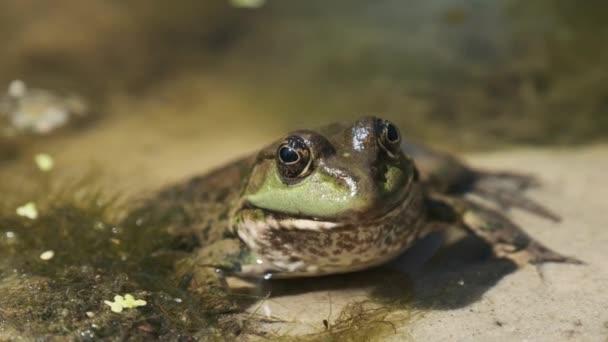Zelená žába sedí na břehu řeky na písku ve vodě. Portrét ropuchy v bažině