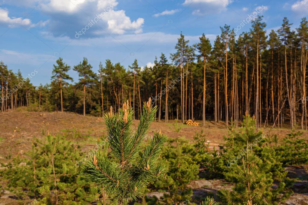 Young pine trees planted on the site of cut trees.Young pines