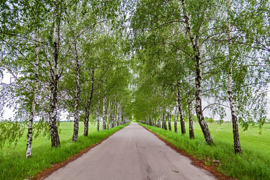 Road with growing in along the young birches.