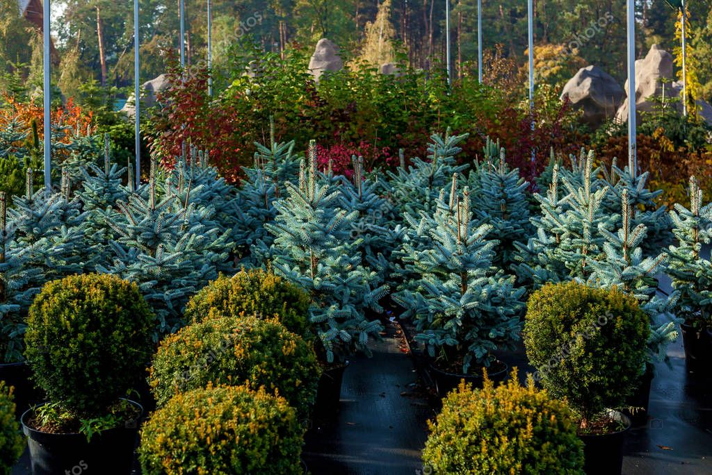 A row of blue firs in the garden center selling plants. Seedlings of various trees in pots in a garden shop. Sale of many varieties of coniferous and deciduous trees, various flowers, everything to decorate your garden. Plant and tree nursery concept