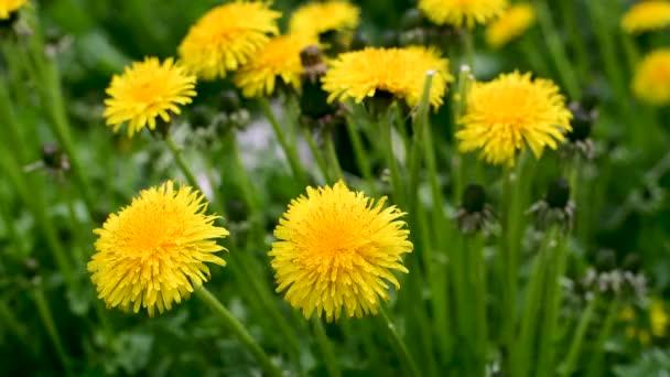 Ragyogó pitypang virág és szél egy tavaszi kert