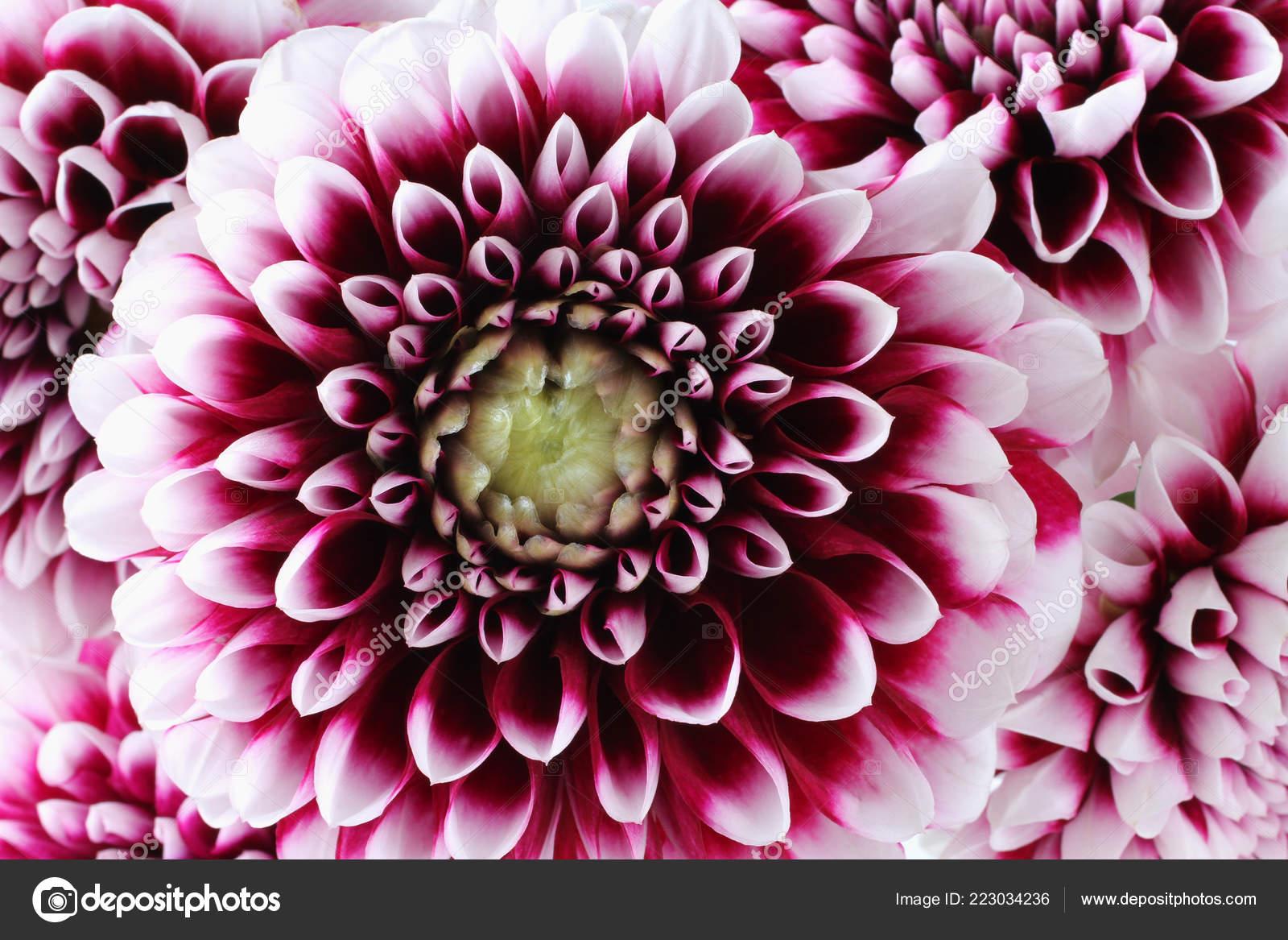 Bouquet Five Purple Dahlia White Edges Petals Flowers Closeup Macro Stock Photo C M Photographer 223034236