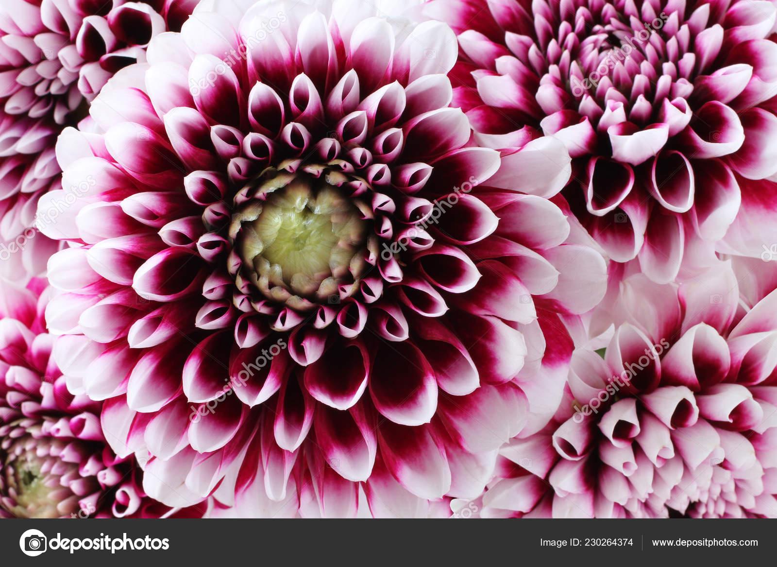 Bouquet Five Purple Dahlia White Edges Petals Flowers Closeup Macro Stock Photo Image By C M Photographer 230264374