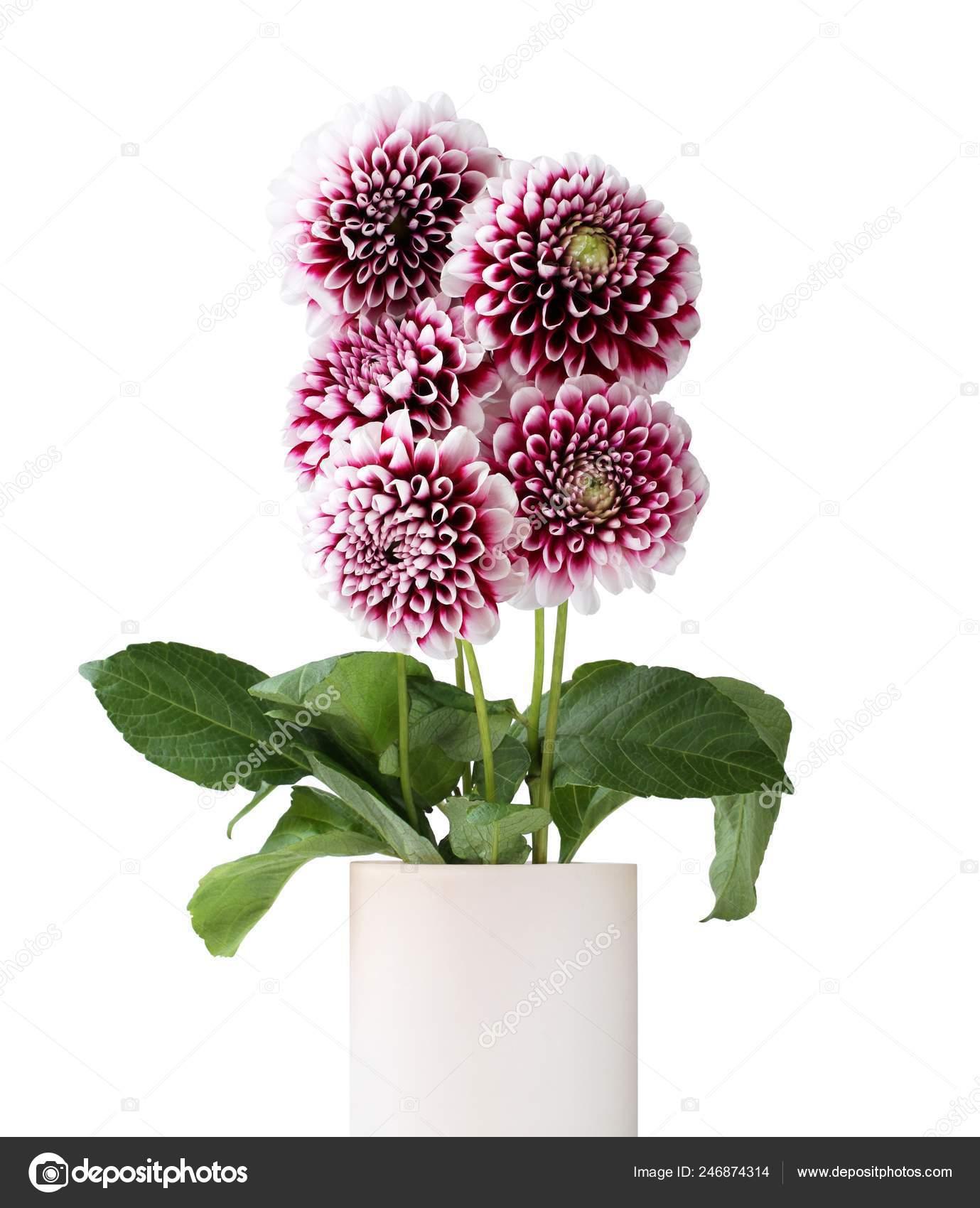 Bouquet Five Purple Dahlia White Edges Petals Flowers Isolated White Stock Photo C M Photographer 246874314