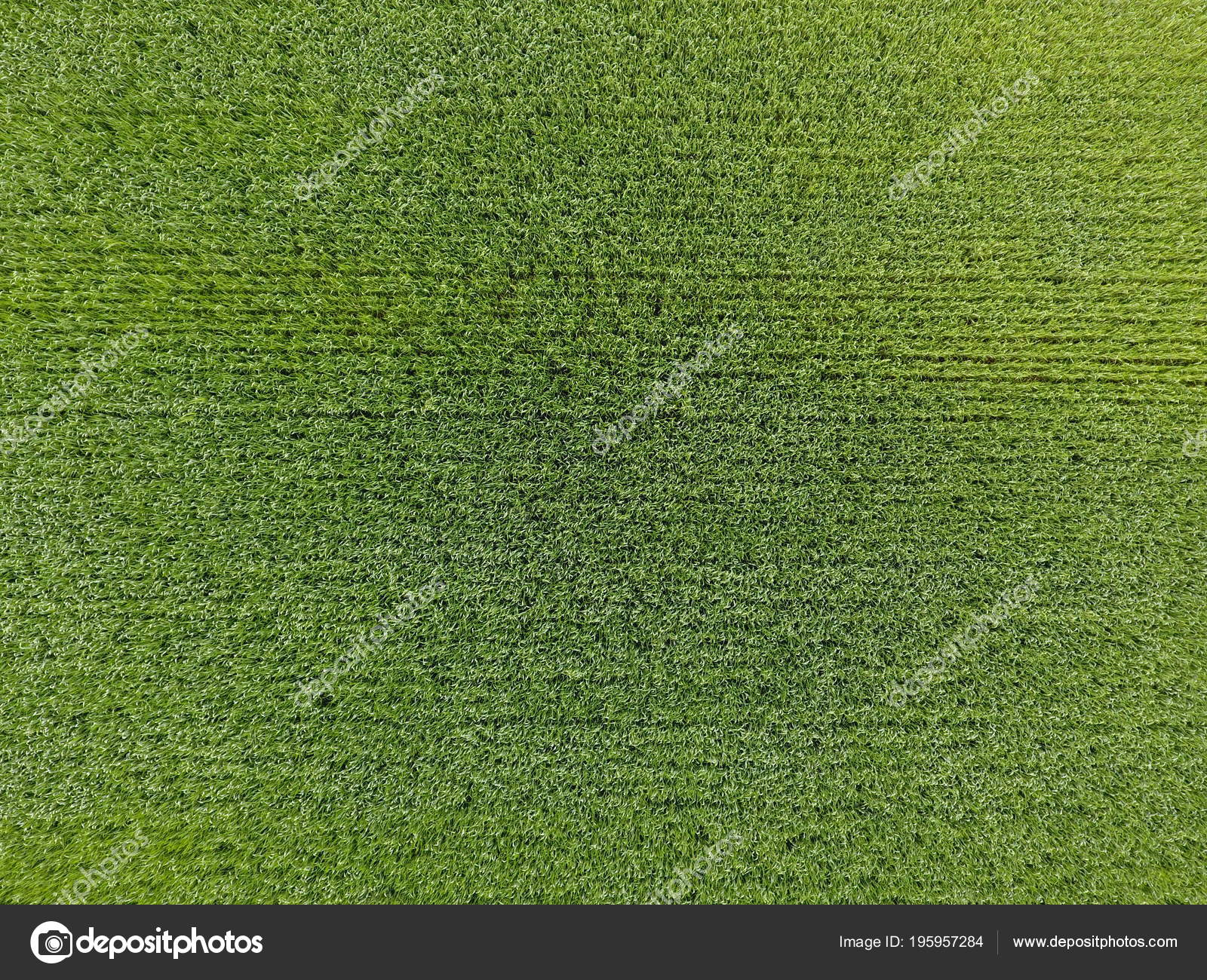 grass field from above. The Wheat Field Is Green. Young On The Field. View From Above.  Textural Background Of Green Wheat. Green Grass \u2014 Photo By Leonid_Eremeychuk Above