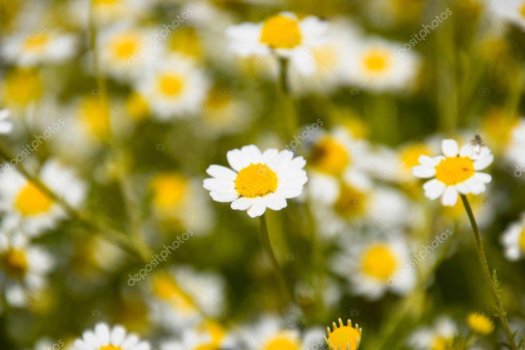 Chamomile flowers. Pharmaceutical camomile. Medicinal plant chamomile, flowering.