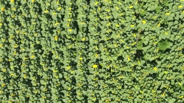 pohled shora z květů slunečnice. Pole slunečnic.