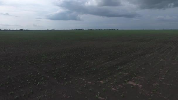 Slunečnicový sazenice pole. Jarní pole s výhonky. Slunečnicová pole