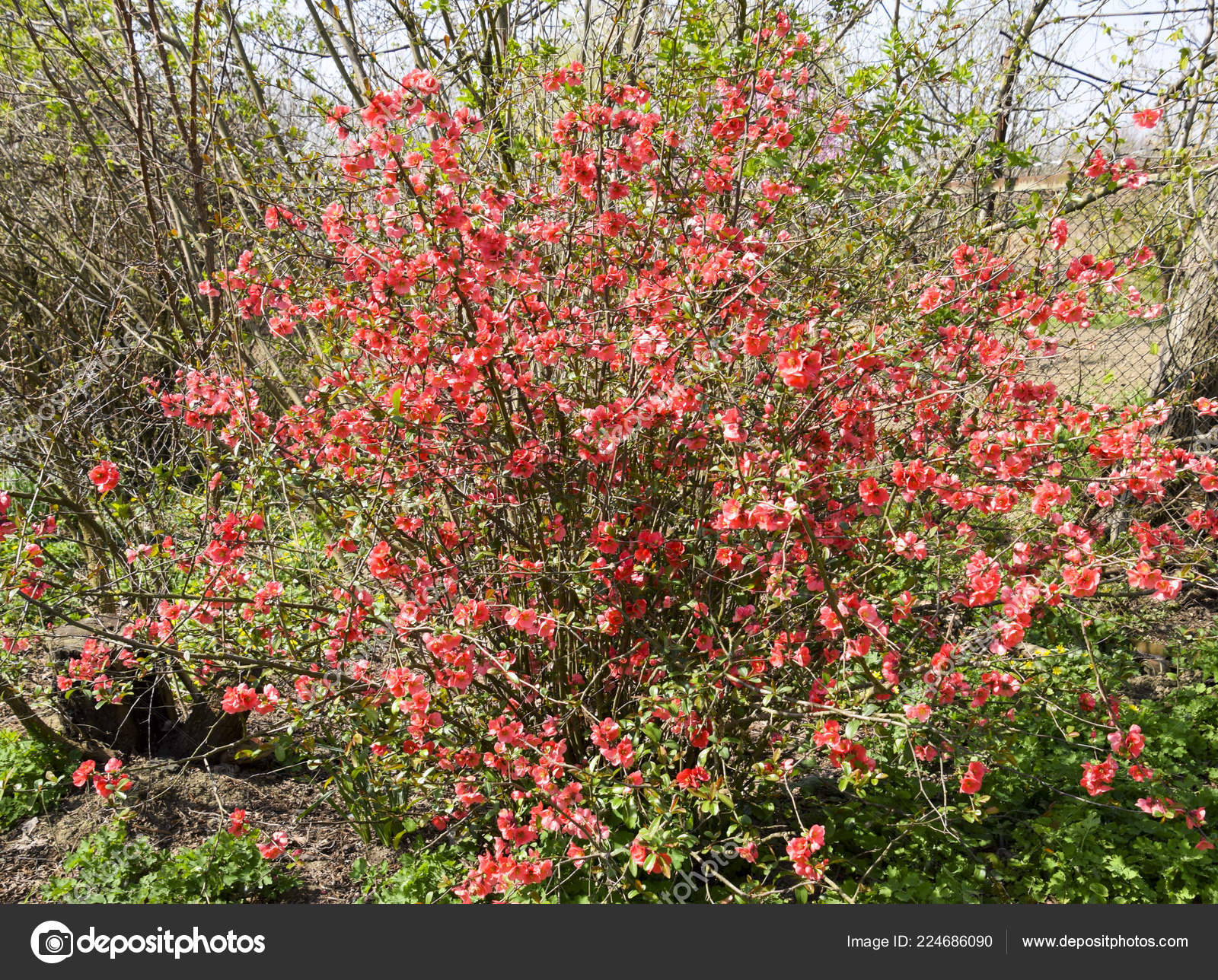 Bush Pink Flowers Spring Flowering Shrubs Stock Photo