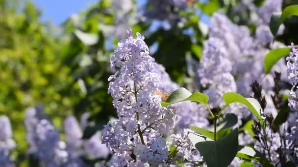 Pillangó Vanessa Bogáncslepke a lila virágok. Pollination virágzó orgonát. Vanessa Bogáncslepke