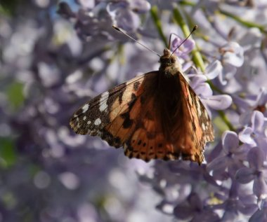 Butterfly rash on lilac colors. Butterfly urticaria.