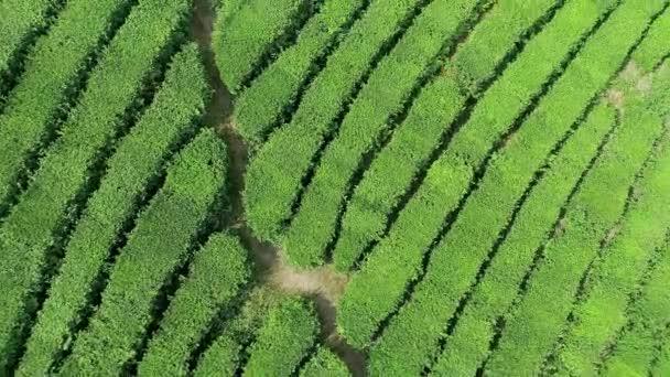 Riprese aeree della piantagione di tè verde è individuare nelle vicinanze di collina a Boseong city, Corea del sud. Riprese aeree da drone