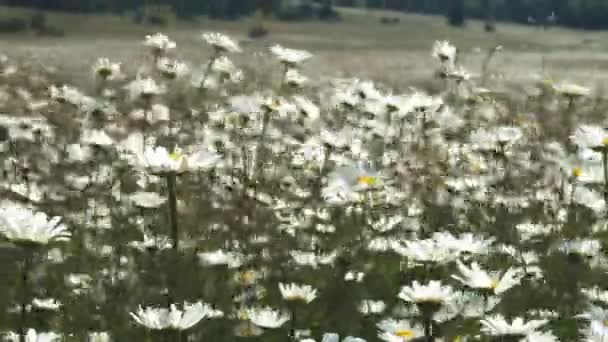 Top view of Chamomile flowers close up with soft focus swaying in the wind. Blooming camomile in the green field in spring meadow. Botany video with beautiful common daisies.