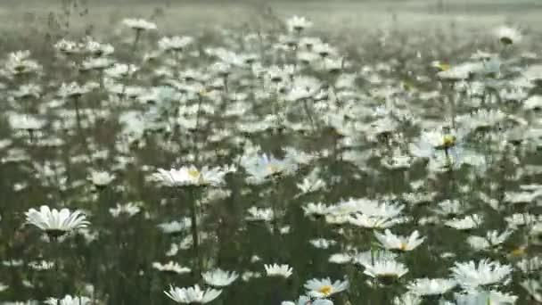 Pohled na Chamomilní květy zblízka s jemnou fokusem se houpá ve větru. Kvetoucí kamomile v zeleném poli na jarní louce. Botanik video s nádherběžnými sedmikrásky.