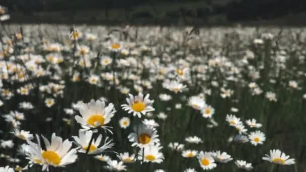 Summer nature meadow flowers view. Summer chamomile field landscape. Chamomile field scene. Summer chamomile meadow flowers