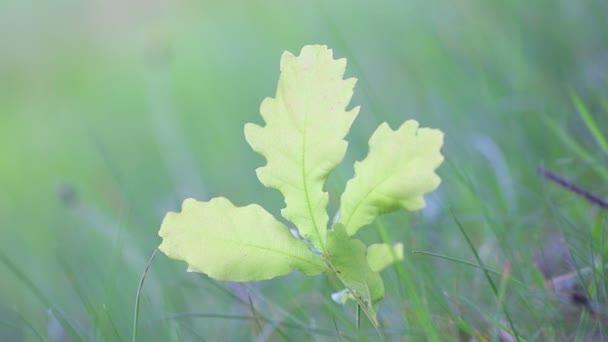 Green oak leaves in sunlight swaying on breeze, spring morning, singing  birds nightingale