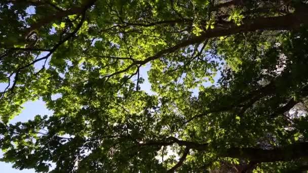 Különböző koronák, a fák, a tavaszi erdő a kék ég a nap ellen. Alsó nézet a fák. tavaszi madarak éneke, Csalogány, Madárhang