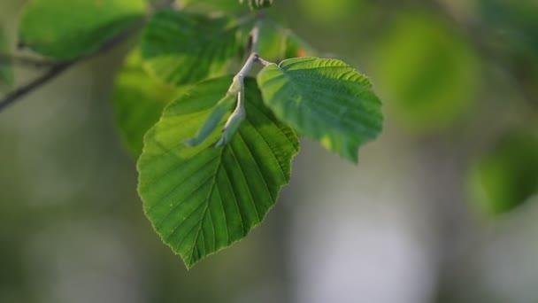 Hojas Color Verde Luz Del Sol Meciéndose Brisa Mañana Primavera ...