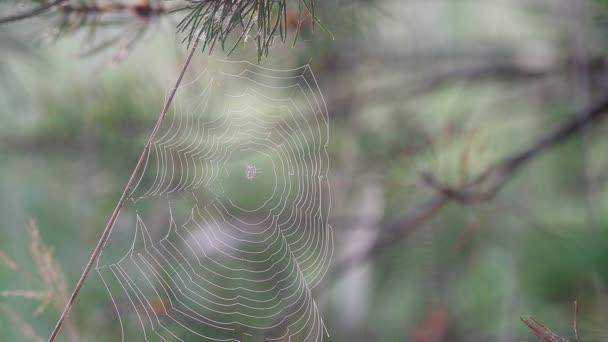 pavučině kymácí ve větru na mlhavé ráno blízko se, zpěv ptáků, Slavík