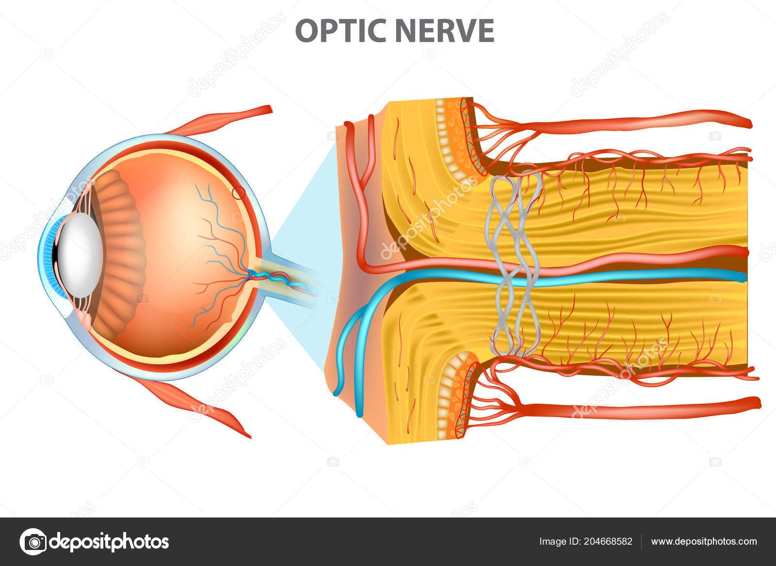 Optic Nerve Anatomy Eye — Stock Vector © Sakurra #204668582