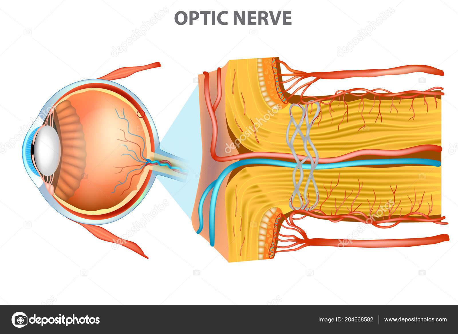 Optic Nerve Anatomy Eye — Stockvektor © Sakurra #204668582