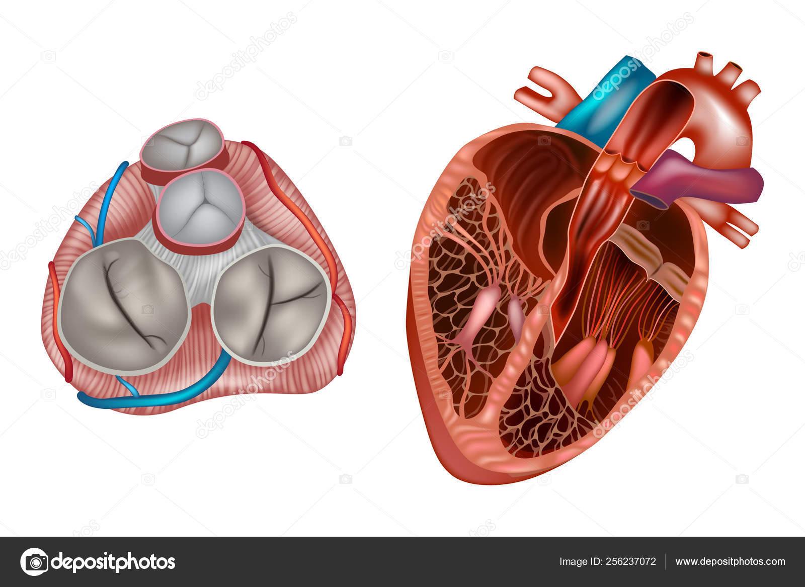 Anatomie Des Valves Cardiaques Valve Mitrale Valve ...