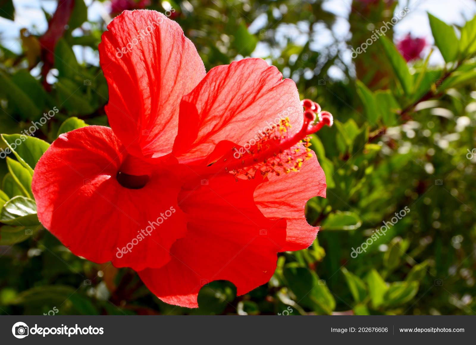 Red Hibiscus Flower China Rose Chinese Hibiscus Hawaiian Hibiscus