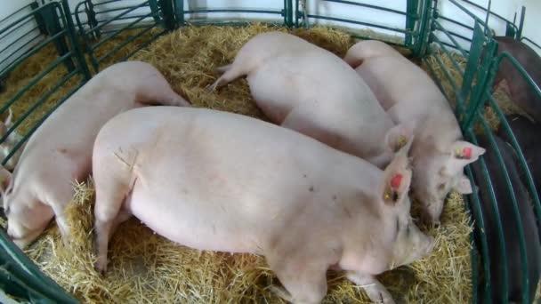 zemědělství průmysl, zemědělství a chov zvířat koncept - farma prasat.