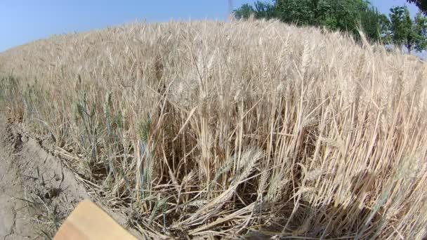 Pole pšenice v západu slunce světlo.