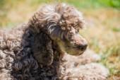 starý portrét psa červený pudl zblízka na letní přírody