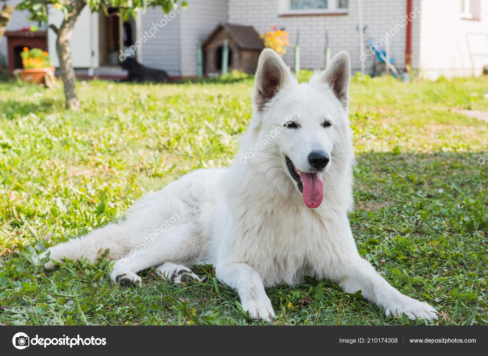 White Beautiful Swiss Shepherd Dog Guards The House Stock
