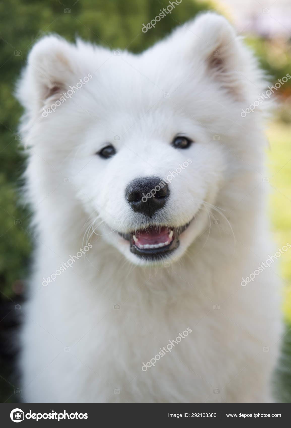 White Samoyed Puppy Dog Smiles Muzzle In The Garden On The Green Grass Stock Photo C Zannaholstova 292103386