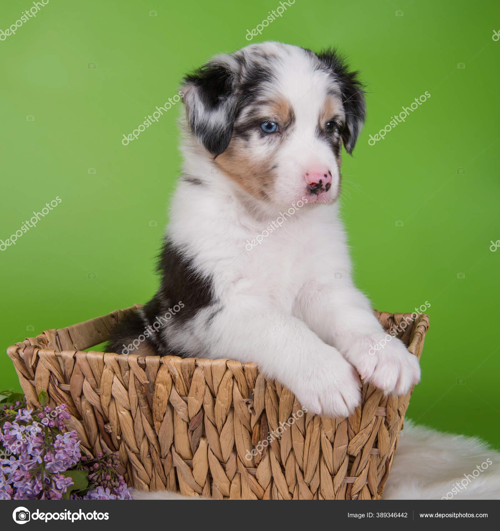 Red Merle Australian Shepherd Puppy Lilac Flowers Stock Photo C Zannaholstova 389346442