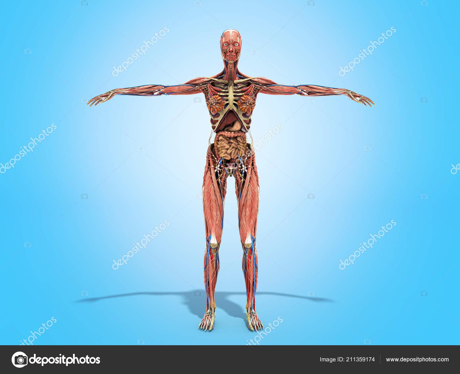 Woman Body Books Anatomy Render Blue Stock Photo Nosorogua