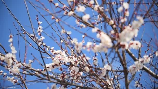 Meruňkový květ rozkvétá na modrém pozadí