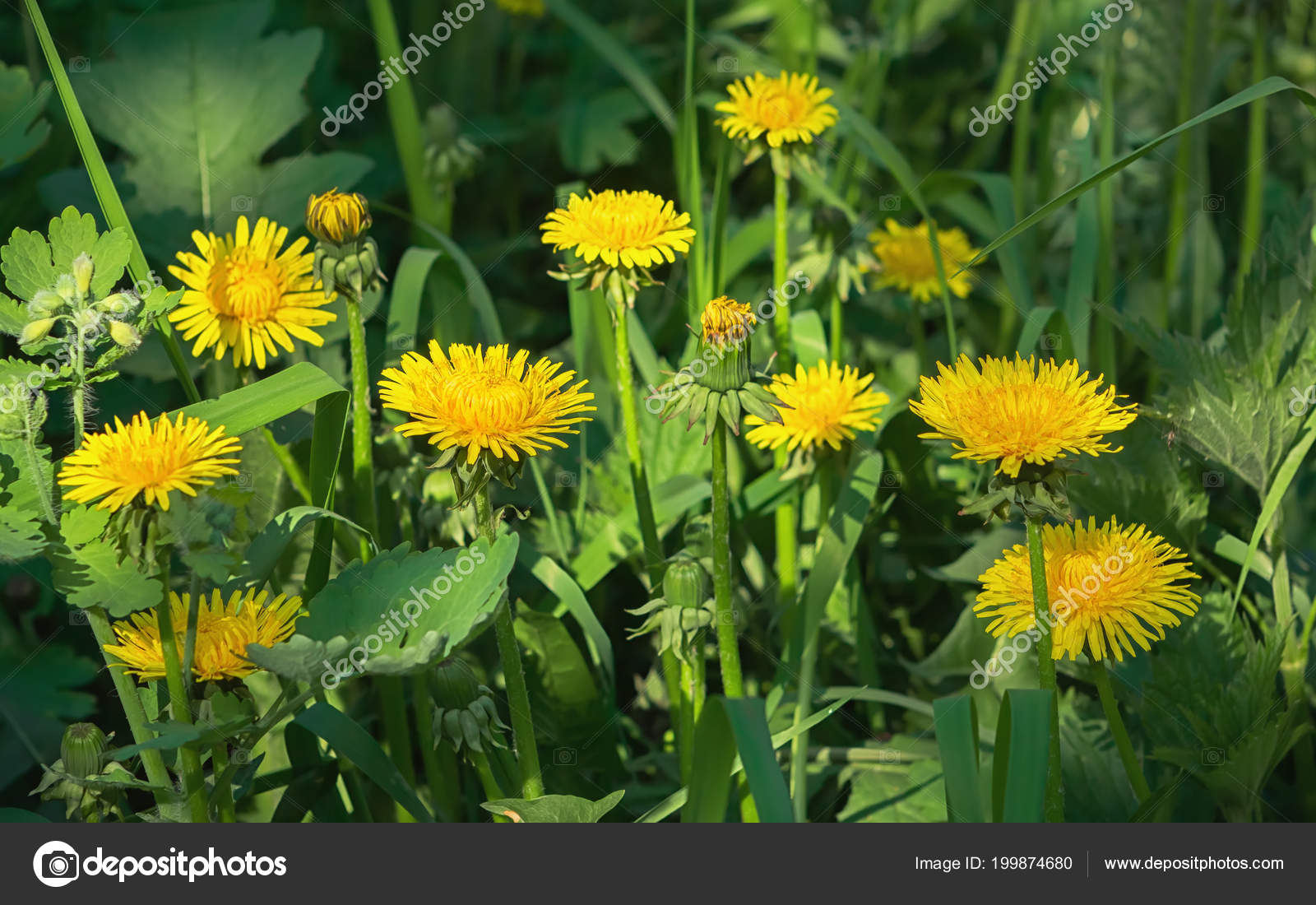 Yellow Flowers Blossoming Common Dandelion Close Green Grass Sunny
