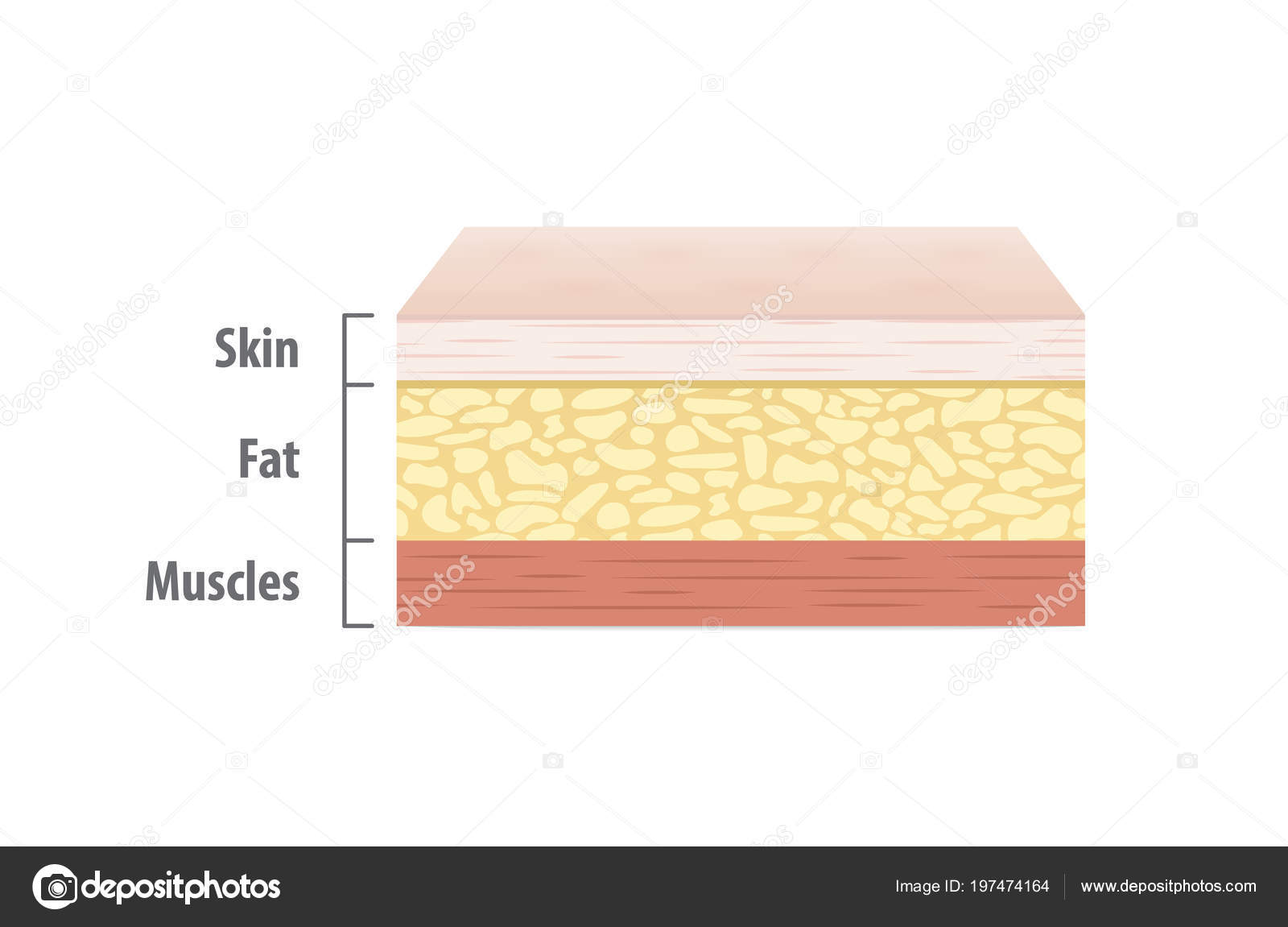 Layers Skin Illustration Vector White Background Medical Concept