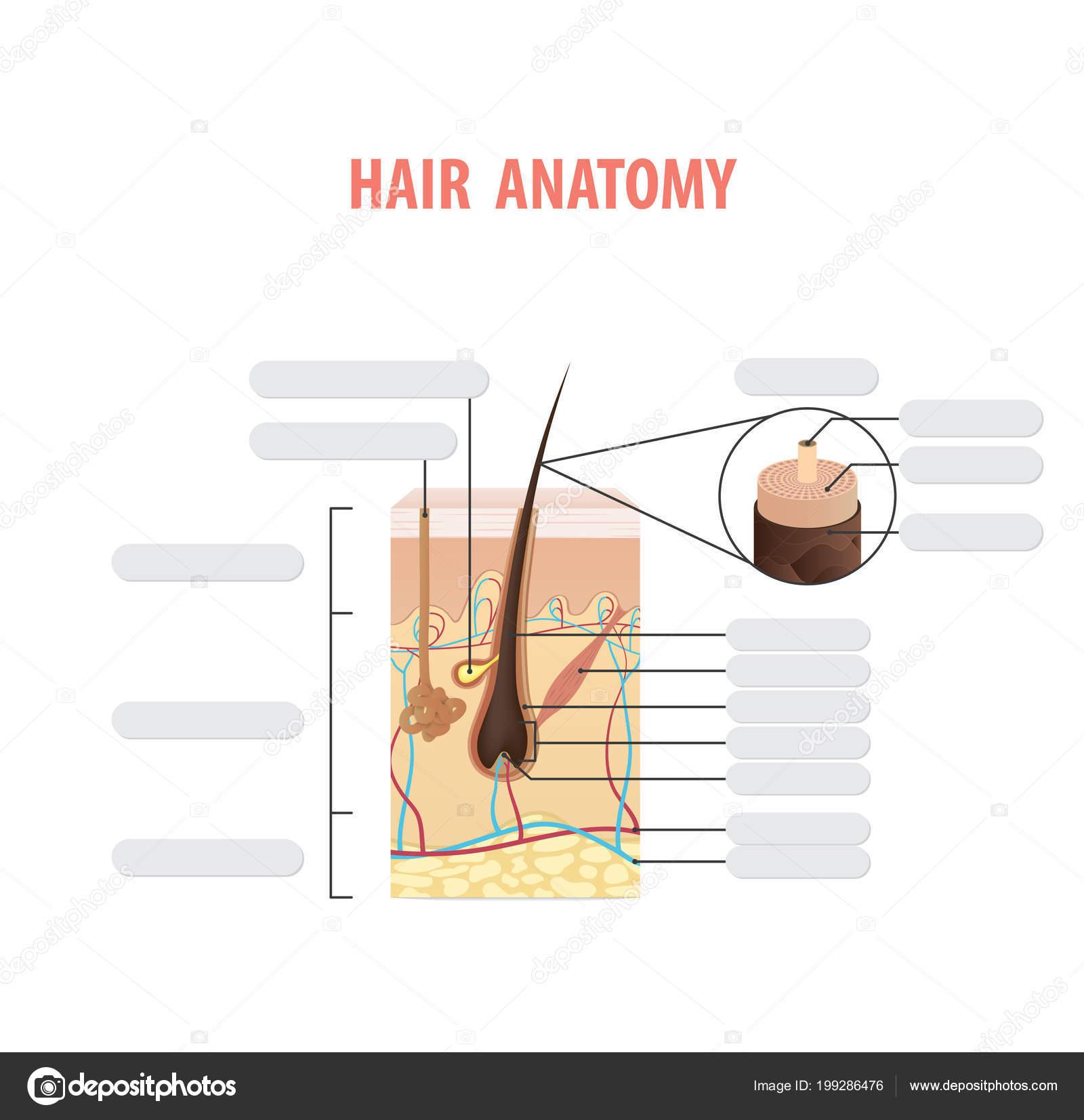 Vector Ilustración Blanco Pelo Anatomía Sobre Fondo Blanco Concepto ...