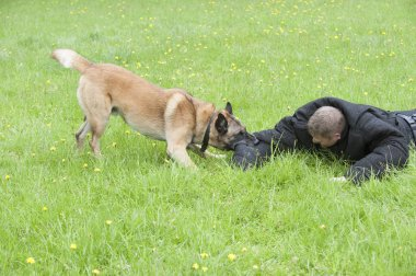 Police dog attacking man in training exercise