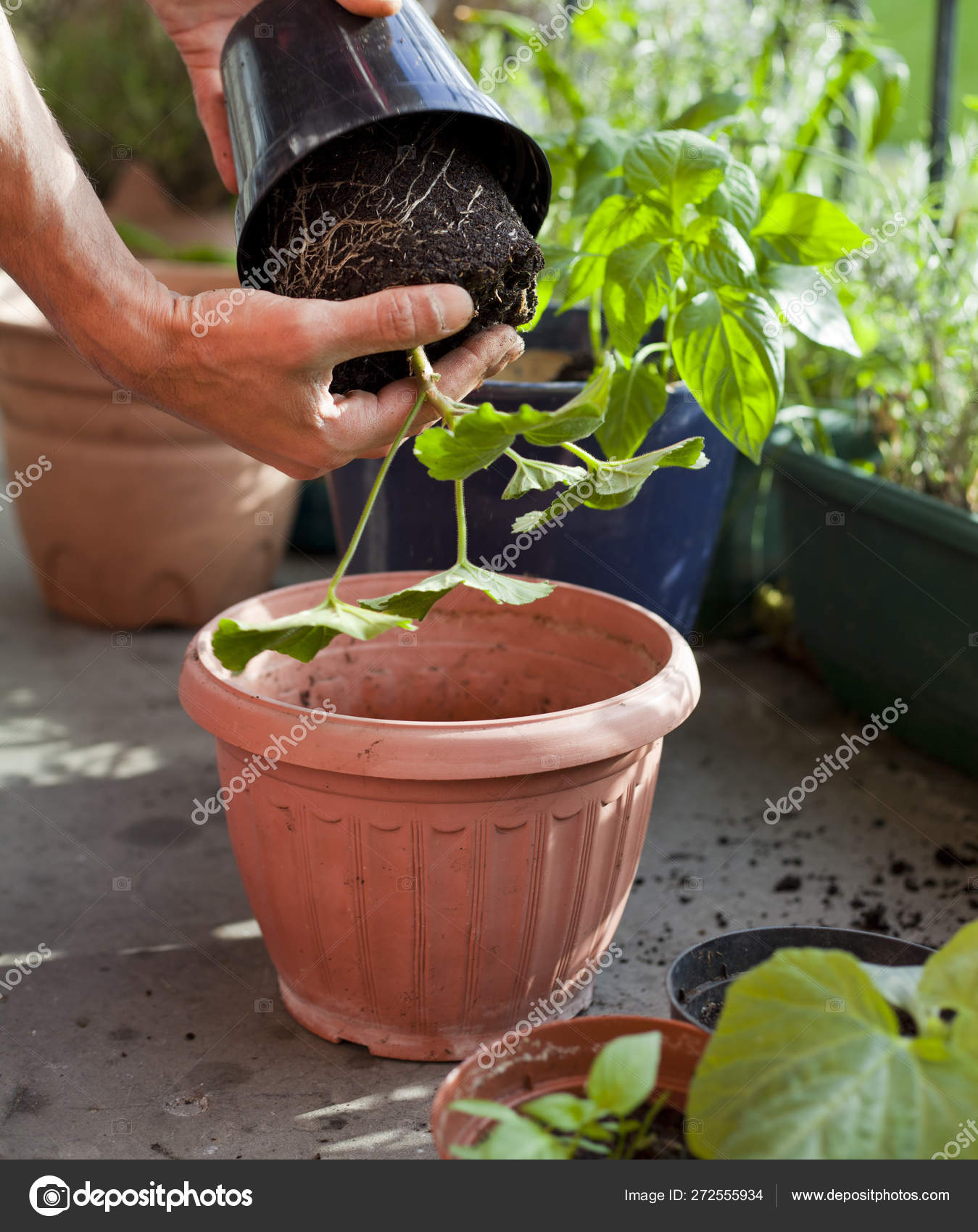 Gardening Activity On The Sunny Balcony Repotting The Plants Stock Photo C Joannatkaczuk 272555934