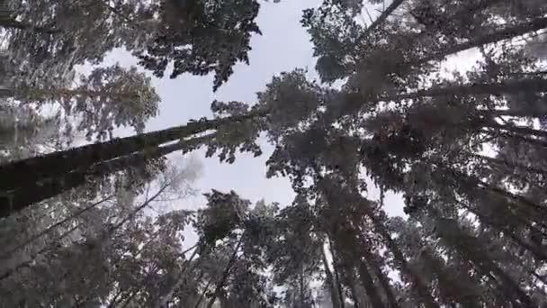Pohled zdola zimní kmeny stromů pokryté sněhem během pohybu vpřed.