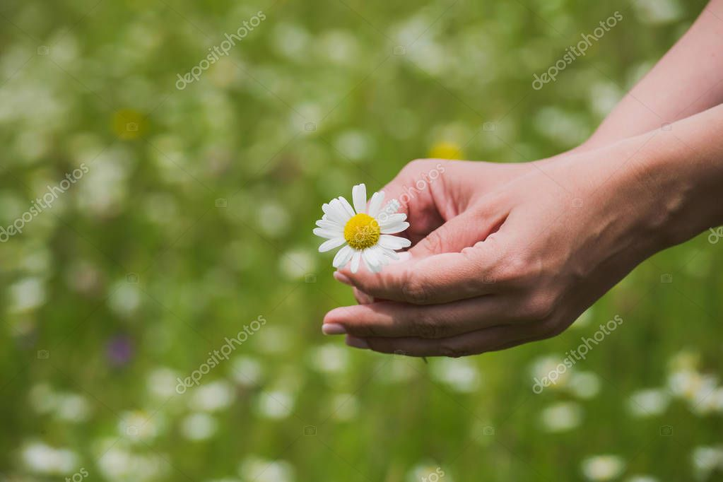 Close up top view of 2 female hands holding one fresh daisy flower isolated on blurry green grass background. Horizontal color photography.