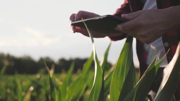 Girl farmer with a tablet monitors the crop, corn field at sunset, slow motion video. Hands up.