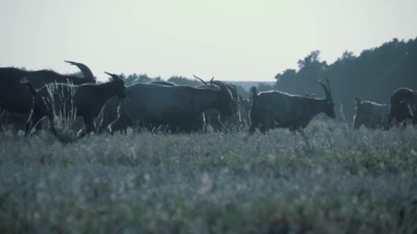 Stádo koz v poli při západu slunce