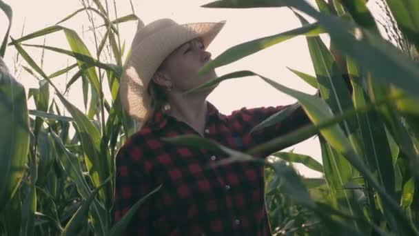 Samice zemědělce v kukuřičném poli. Sklizeň. Zemědělské práce v kukuřičném poli