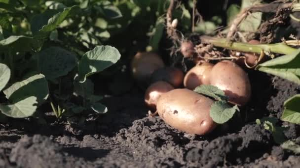 Cleaning of fresh organic potatoes in the field, farmers harvesting potatoes from the soil.