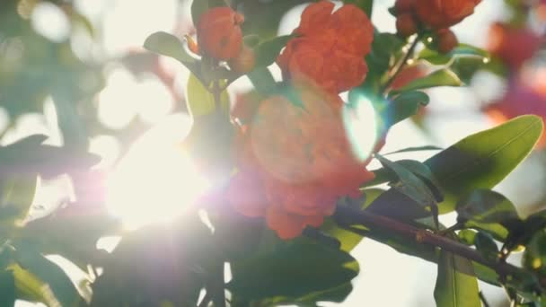 Beautiful red flowers on a tree in the rays of the sun. Silhouette of beautiful flowers